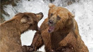 Picture of grizzly bears