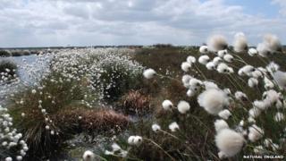 Cotton Grass at Humberhead Peatlands