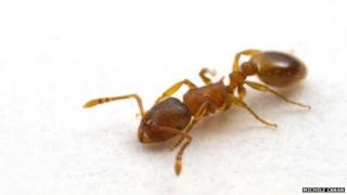 A single 'Temnothorax rugatulus' ant
