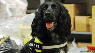 Phoebe the sniffer dog