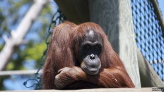 Gina the orangutan