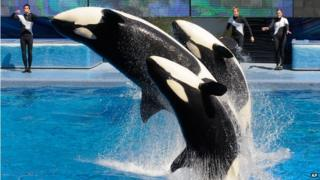 Trainers work with killer whales during the Believe show in Shamu Stadium at the SeaWorld Orlando theme park March 7, 2011
