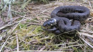 Jersey grass snake
