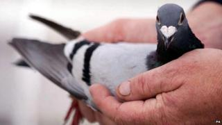 A racing pigeon being cupped in a pair of hands
