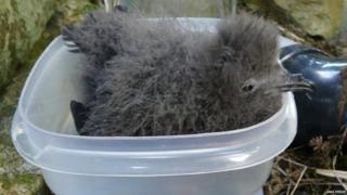 Leach's storm petrel chick being weighed
