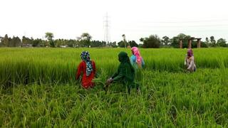 Women harvesting rice in the paddy fields