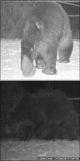 Trail camera images of brown bear (Image courtesy of Sergey Gashchak/Chornobyl Center, Ukraine)