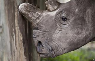 A female northern white rhino is seen in Kenya on 1 December 2014