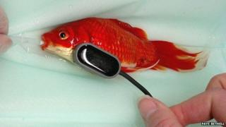 Goldfish being operated on