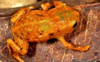 orange frog with brown and green blotches