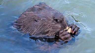 Close up of a beaver