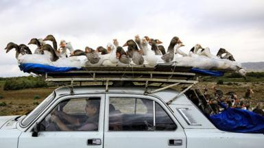 A man carries geese on top of his car