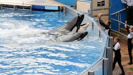 Orcas at Sea World in Orlando, Florida