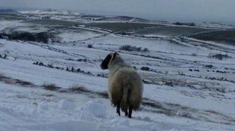 Sheep on snowy hillside on Isle of Man