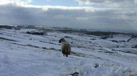 Sheep on snowy hillside on Isle of Man. Picture by Daniel Creer