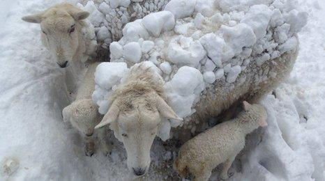Ewes covered in snow