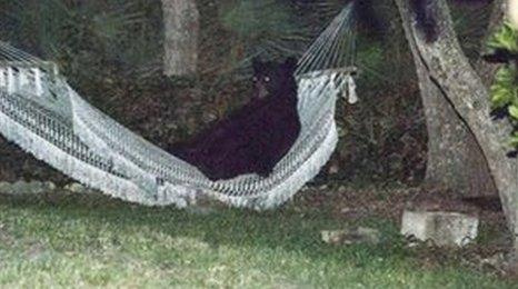 "The black bear was photographed ""chilling"" in a hammock in a garden in Florida"
