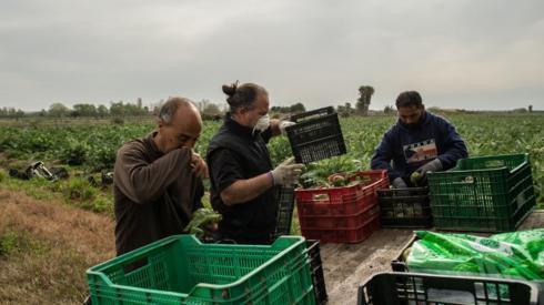 Spanish farmers harvest artichokes