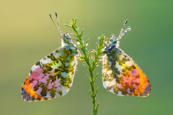 Un par de mariposas en una rama