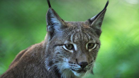 Lynx Deutsch
