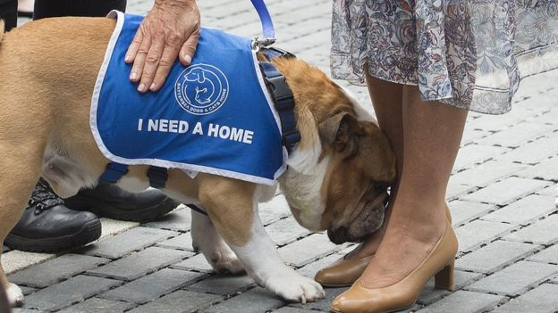 Winston the bulldog at Battersea Dogs Home