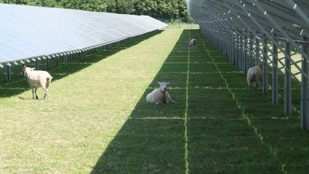 Sheep at Whitley Solar Farm