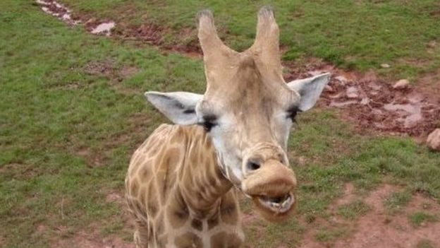Una jirafa en el South Lakes Safari, en Cumbria, Inglaterra.