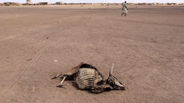 A carcass of a dead cow in Farado Kebele January 2016