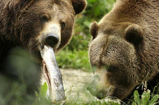 Ursos-pardos são espécie protegida