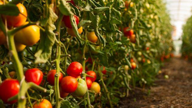 Plantación de tomates.