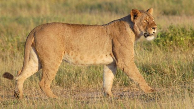 A lion walks across the grassland of the Amboseli National Park, Kenya, in 2007.