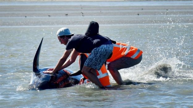 Volunteers hold a pilot whale upright during a second mass stranding of whales in New Zealand, 11 February 2017