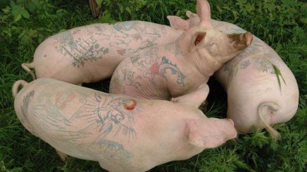 Nguruwe waliochorwa tatoo