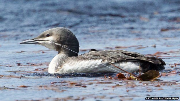 Black-throated diver at Lochindorb