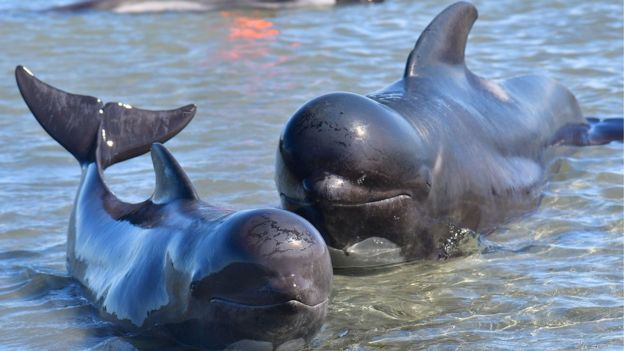 Una ballena piloto varada junto a su bebé
