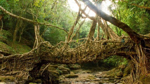 Puente hecho de raíces