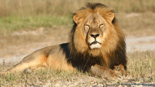 Undated photo provided by the Wildlife Conservation Research Unit, Cecil the lion rests in Hwange National Park, in Hwange, Zimbabwe