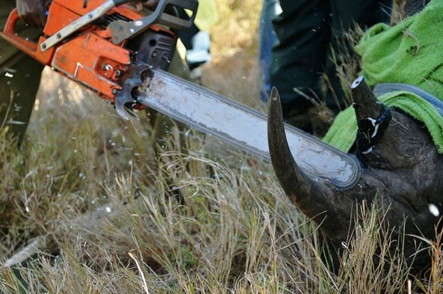 removing a rhino's horn to deter poachers