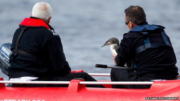 Black-throated diver being rescued at Lochindorb