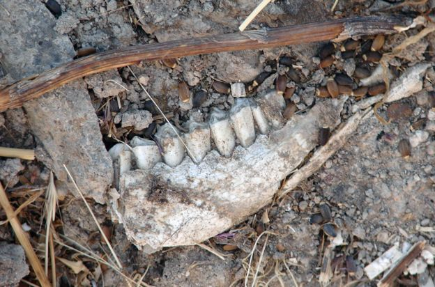 Sheep's teeth