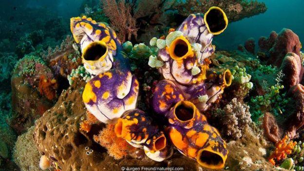 Hải tiêu khi trưởng thành (Polycarpa aurata) sẽ tự mất đi 'xương sống' của chúng