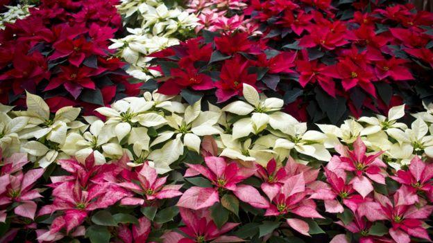 El fascinante origen mexicano de la poinsettia, la planta navideña por excelencia