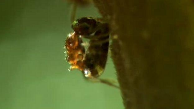 Hormiga inyectando veneno