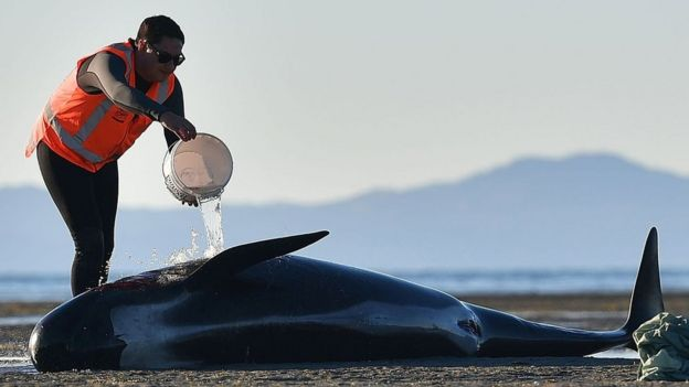 Picture taken on February 11, 2017 shows a volunteer splashing water on a pilot whale at Farewell Spit, New Zealand.