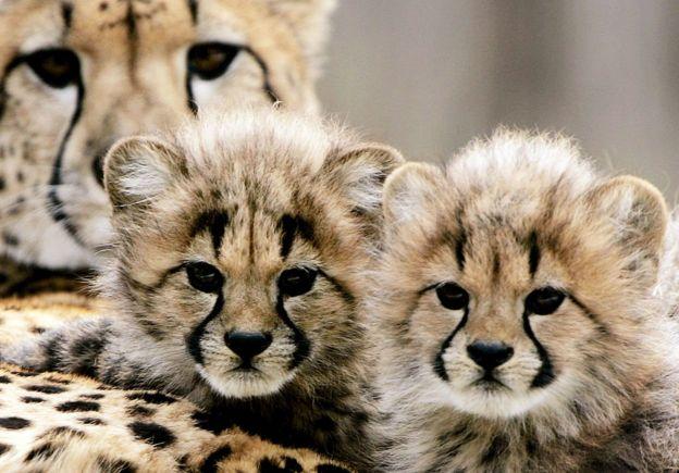 Gepard balaları