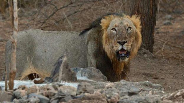 Lion Shyam