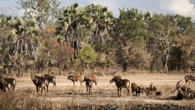 Group of waterbuck in Gorongosa National Park