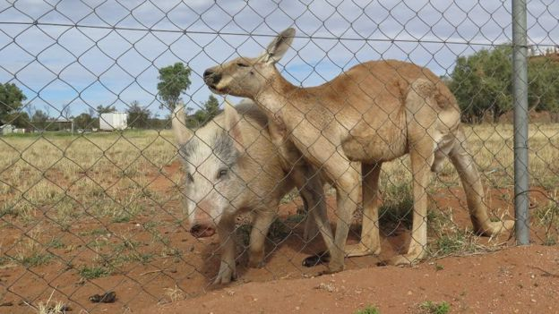 Kangaroo and pig nuzzle one another next to fence