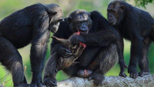 Frodo y otros dos chimpancés