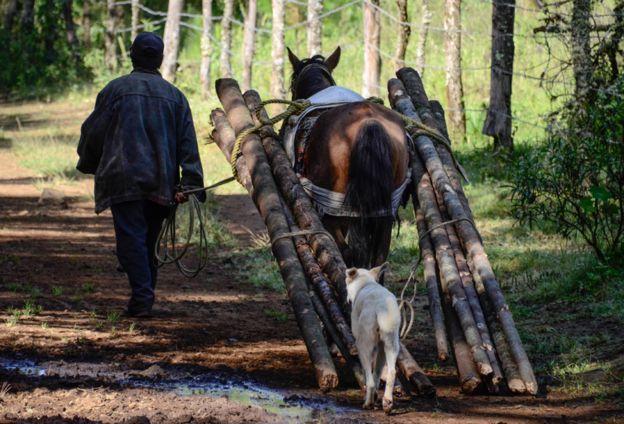 Homem e cavalo carregam madeira retirada da floresta